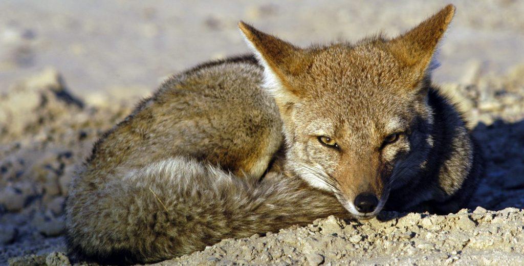 Fauna terrestre Puerto Madryn