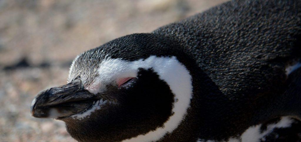 Pinguino Puerto Madryn