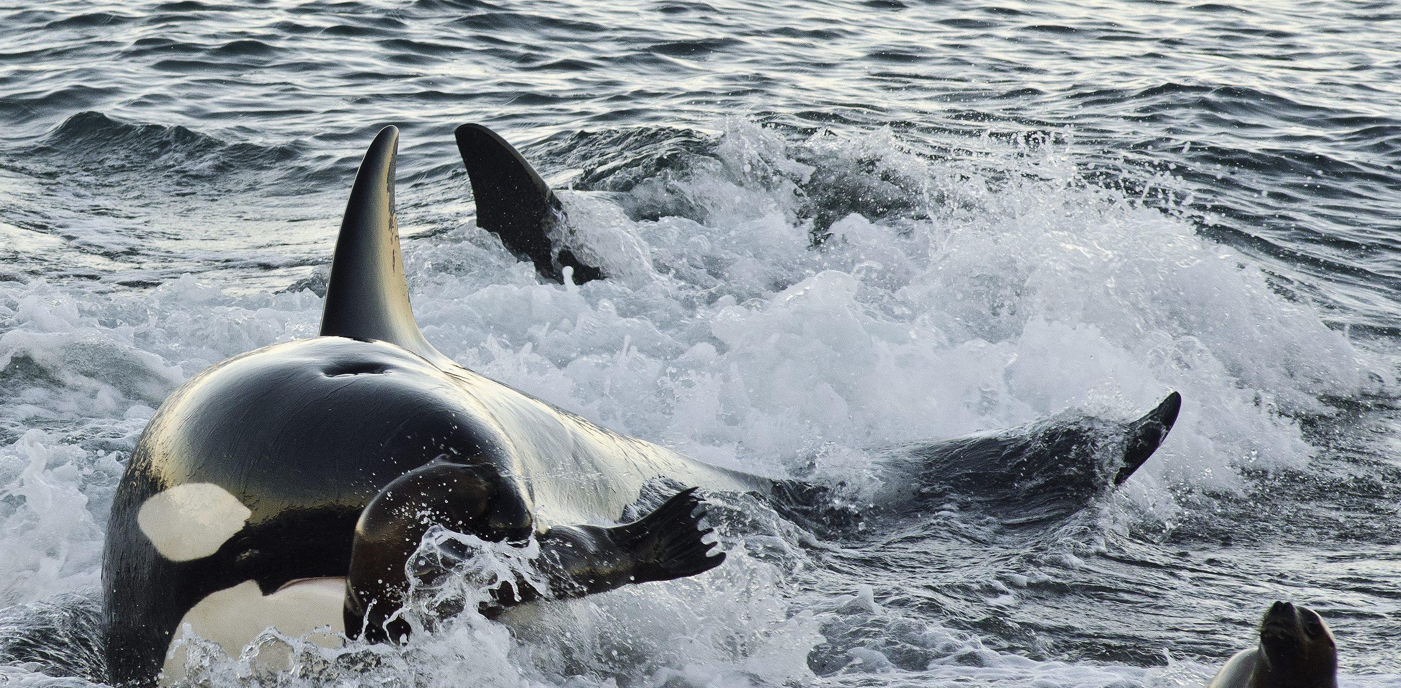 Orcas Puerto Madryn