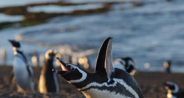 Pinguinos puenta tombo Puerto Madryn